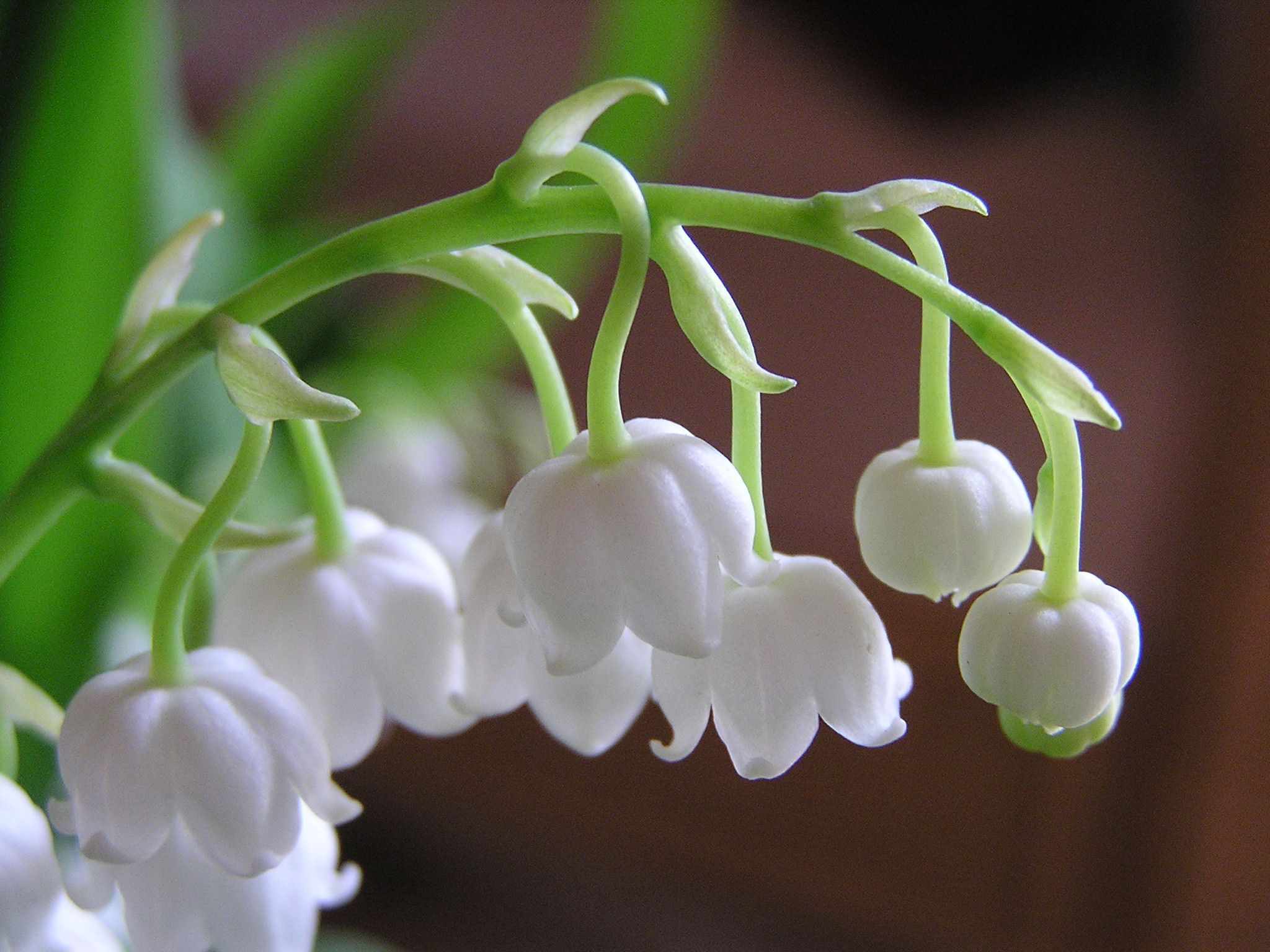 lily-of-the-valley-1524782.jpg
